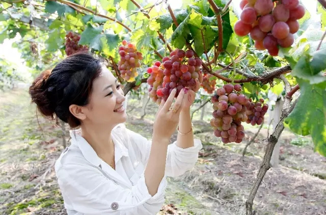 惠州培峰葡萄园自助葡萄采摘